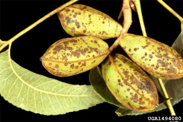 Florida Pecans: Battling Scab in the Panhandle