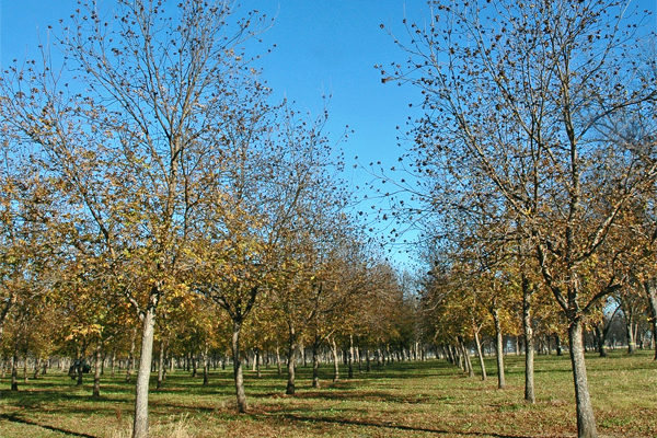 Georgia Pecans: Will This Week's Cold Weather Hurt Trees?