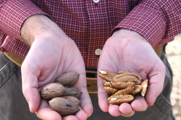 Northern Nut Growers Association's Conference, Tifton, GA, Aug. 13-16
