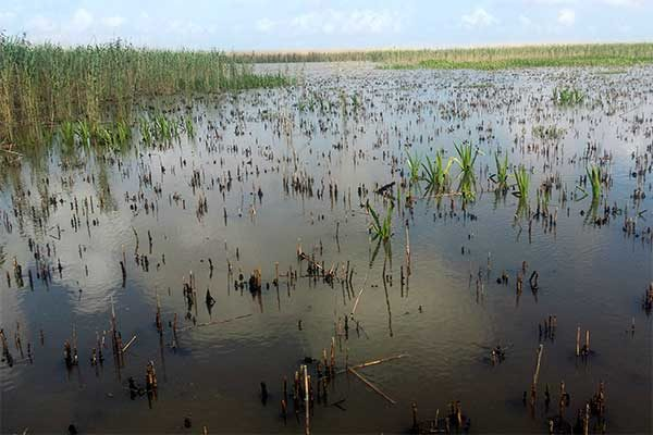 Louisiana: Scale Insect Is Causing Widespread Wetland Damage
