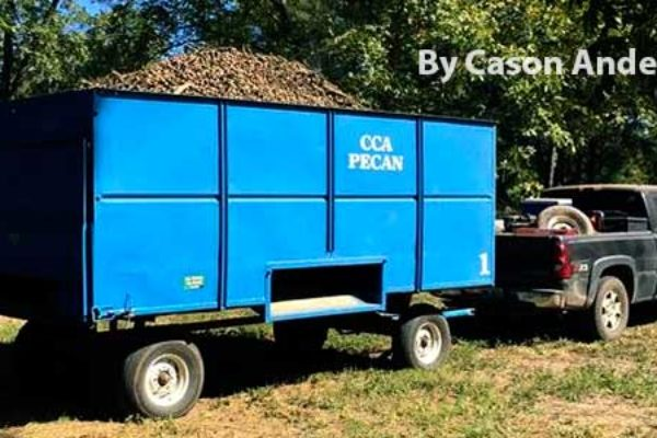 Oklahoma Pecans: Harvest Active, Many Nuts Going to Barns