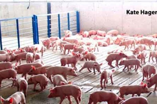 DTN Livestock Midday: Hog Futures Give Back Early Gains