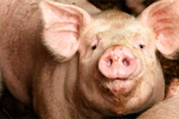 DTN Livestock Open: Moderate Support in Hogs