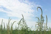 Palmer Amaranth In The Midwest — It Ain't Your Father's Pigweed – AgFax