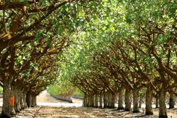 California Pistachios: Sanitation Fell Short, Quality Suffered – What About 2018?