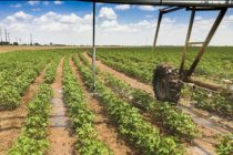 AgFax Cotton Southwest: Thankful for Rain – Here Come the Weeds