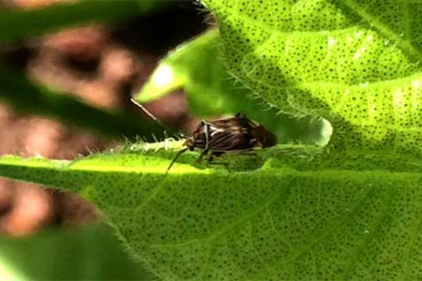 Texas Upper Coast IPM: Fleahoppers to Plant Bugs and Aphids to Midge