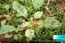 Tennessee: Will Pigweed Die after an Engenia or Xtendimax Application???