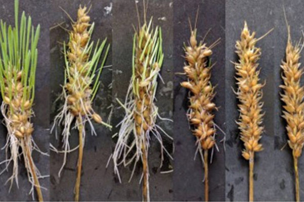 Michigan: Wheat Varieties Tested for Susceptibility to Pre-Harvest Sprouting