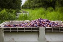 California Prunes: Annual S. Sacramento Valley Meeting Set For March 3