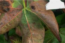 Tennessee Cotton: Red Leaves on Your Plants? It's Important to Know Why