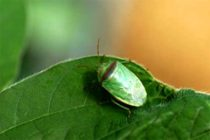 Mississippi Soybeans: What Will Cold Temps Mean for Redbanded Stink Bug?