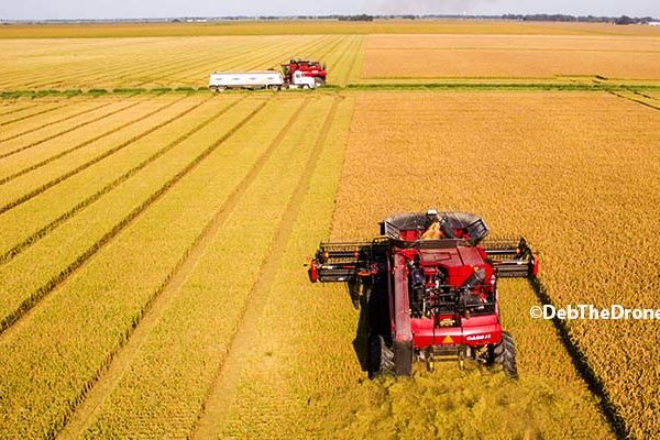 Arkansas Rice: As Harvest Approaches, Growers Hope for Higher Temps, Less Rain