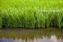 Louisiana Rice: New Herbicide, Crop Outlook Featured at Grower Meetings
