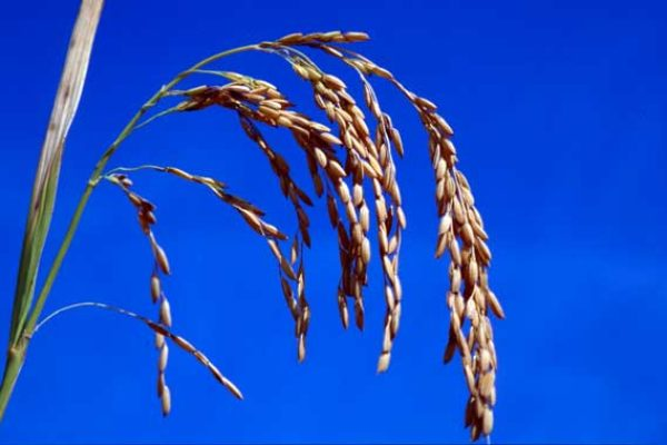 Rice Update: Market Moved by New Business, Demand Factors