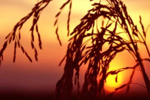 Rice Update: Quiet Market Needs Bullish News