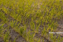 Arkansas Rice: Early Planted Fields Showing Good Stand Development