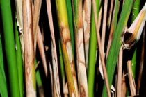 Louisiana Rice: Disease Showing Up – Time for Fungicides