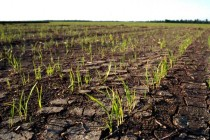 Arkansas Rice: Some Southern Fields Being Flooded