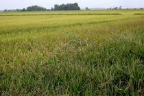 Arkansas Rice: Continued Wet, Overcast Conditions; Welcome to Weed Season
