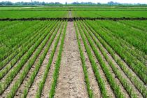 Rice: Gambit Herbicide Registered to Fight Sedge and Broadleaf Weeds