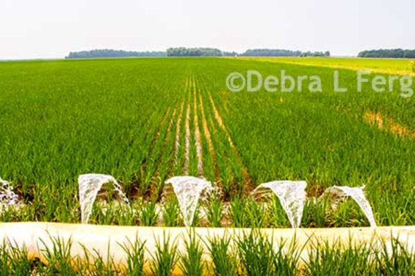 Arkansas Rice: Acreage Outlook, Crop Budgets