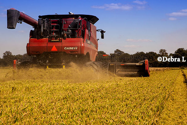 Arkansas Field Reports: Rice, Soybean Harvests Pick Up Steam