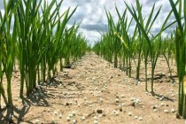 Rice: Rains Might Trim Acres Off Final Delta Planting – AgFax