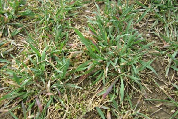 Minnesota Corn: Rye Cover Crops on Irrigated Sands