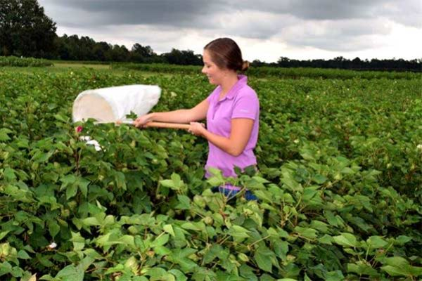 Florida Cotton: New Insect and Mite Control Guide Available