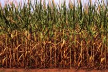 Illinois: Comparing Payments from Margin Protection with Harvest Price Option