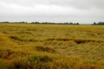 Arkansas Rice: How Much of the Crop Is Down? What Can Be Done About It?