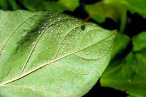 Georgia Cotton: Whitefly Problem Not Over Until the Last Leaf Falls