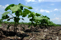 Cotton: SePRO's Brake Herbicide Approved in 5 States
