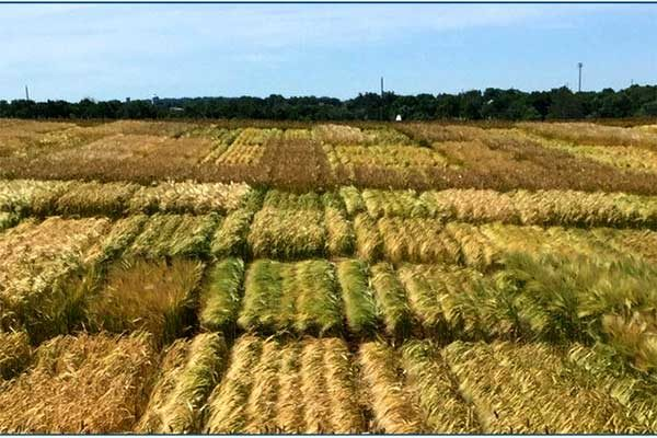 Pennsylvania: Small Grain Field Day, Manheim, June 8