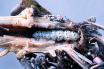 Tennessee Corn, Cotton, Soybeans: Late Season Insect Considerations