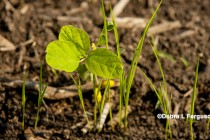 Kentucky Soybeans: Herbicide Resistance Trait Decisions for 2018 – Video