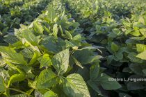 Soybeans: PPO-inhibitor Herbicides Manage Tough Weeds but Not Without Risk – DTN