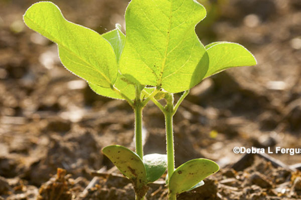 Soybean Yields – Finding the Right Combination of Grit, Determination and Technology – DTN
