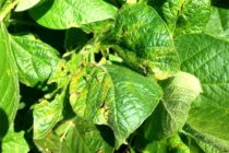 South Dakota Soybeans: Bacterial Blight on the Increase in Some Fields