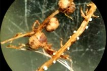 Iowa Soybeans: Know Your SCN Numbers