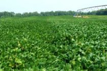 Ohio Soybeans: OSU Offers $40 to Participate in Production Survey