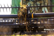 Michigan Soybeans: Multiple Equipment Adjustments to Reduce Harvest Losses