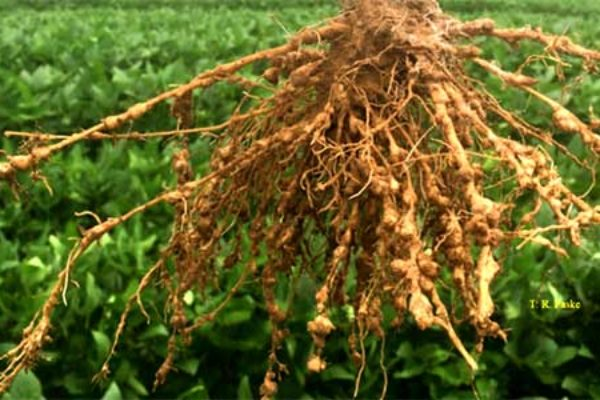 Arkansas Soybeans: Precision Ag Aids Fight Against Nematodes