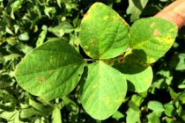 Soybean Rust Develops 'Rolling' Epidemics as Spores Travel North, According to Study