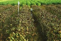 Alabama: Soybean Rust Spreading Across the State