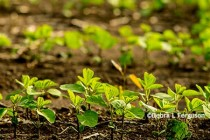 Delaware Corn, Soybeans: Be on Lookout for Seedling Diseases