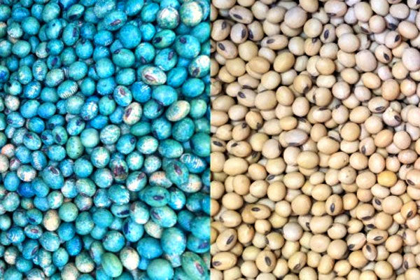 Pennsylvania Corn, Soybeans: Seed Selection Based on Disease Resistance Ratings