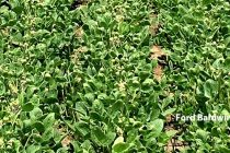 Arkansas Plant Board Pulls Trigger on Dicamba Ban