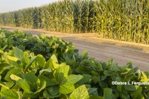 Corn, Soybeans: Using the Soybean-to-Corn Price Ratio to Predict March Planting Intentions